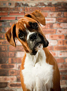 Brick Wall Prints - Cute Dog Print by Danny Beattie Photography
