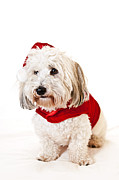 Santa Puppy Posters - Cute dog in Santa outfit Poster by Elena Elisseeva