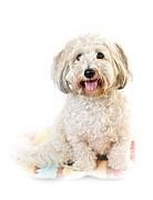 Coton Prints - Cute dog portrait Print by Elena Elisseeva