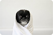 Towel Posters - Cute Dog Wrapped Poster by Emma Mayfield Photography