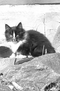 Wild Rose Studio - Cute Kitten in Black and White