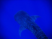 Whale Shark Metal Prints - Cute Little Fishy...... Metal Print by Strato  ThreeSIXTY
