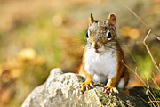 Fur Photo Posters - Cute red squirrel closeup Poster by Elena Elisseeva