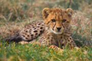 Cheetah Photo Originals - Cutest Cub by Gary Maynard