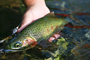 Fishing Prints - Cutthroat Trout On The Middle Fork Print by Drew Rush