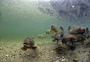 Cutthroat Trout Photo Prints - Cutthroat Trout School In Lake Print by Michael S. Quinton