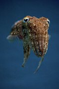 Undersea Photography Framed Prints - Cuttlefish Framed Print by Stavros Markopoulos