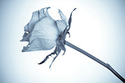 Floral Stalk Posters - Cyanotype Rose Poster by John Edwards