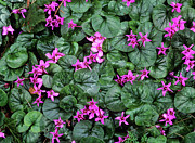 Cyclamen Photos - Cyclamen Flowers (cyclamen Coum) by Bob Gibbons