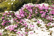 Cyclamen Photos - Cyclamen Hederifolium by Adrian Thomas