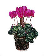 Cyclamen Photos - Cyclamen Plant by Gavin Kingcome