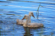Wildlife Photography Pyrography Acrylic Prints - Cygnet Siblings Acrylic Print by Whispering Feather Gallery