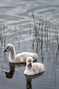 Australian Animal Framed Prints - Cygnets Framed Print by David Lade