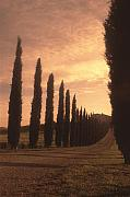 Tuscan Landscapes Framed Prints - Cypress Driveway Framed Print by Andrew Soundarajan