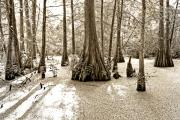 Louisiana Swamp Prints - Cypress Evening Print by Scott Pellegrin