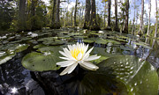 Pad Framed Prints - Cypress Gardens Lily pad Flowers Framed Print by Dustin K Ryan