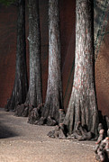 Cypress Print by Greg Kopriva
