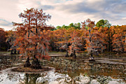 Big Cypress Bayou Photos - Cypress Isles by Lana Trussell
