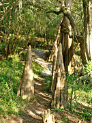 Cypress Knee Art - Cypress Knee Pathway by David  Brown