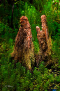 Christopher Holmes Photography Framed Prints - Cypress Knees Framed Print by Christopher Holmes