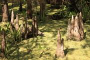Cypress Knees In Green Swamp Print by Carol Groenen