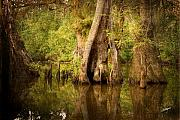 South Louisiana Prints - Cypress  Print by Scott Pellegrin