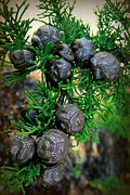 Cypress Seed Pods Print by Cindy Wright