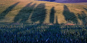 Italian Cypress Photo Acrylic Prints - Cypress Shadows in Tuscany Acrylic Print by Marion McCristall