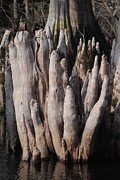 Cypress Stump Photos - Cypress Stump #2 by Charlie Day