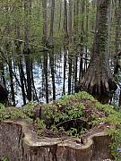 Cypress Stump Photos - Cypress Stump and Swamp by Warren Thompson