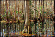 Cypress Swamps Framed Prints - Cypress Swamp Framed Print by Carol Groenen