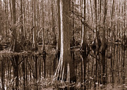 Florida Swamp Posters - Cypress Swamp Reflection in Sepia Poster by Carol Groenen