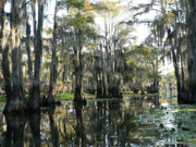Cypress Swamps Framed Prints - Cypress Swamps Framed Print by Joy Tudor