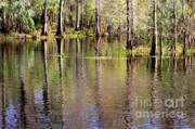 Reflections In Water Prints - Cypress Trees along the Hillsborough River Print by Carol Groenen
