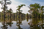 Bald Cypress Prints - Cypress Trees and Spanish Moss in Lake Martin Print by Louise Heusinkveld