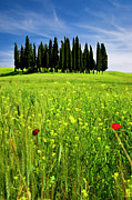Tuscan Hills Photos - Cypress Trees by Brian Jannsen