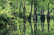Cypress Knees Photos - Cypress Trees Cross A Waterway by Medford Taylor