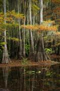 Cypress Trees Photos - Cypress Trees Forest by Iris Greenwell