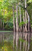 Hillsboro Prints - Cypress Trees- Hillsborough River Print by Jim Dohms