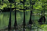 Cypress Trees Photos - Cypress Trees in Spring by Iris Greenwell