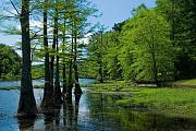 Cypress Trees Prints - Cypress Trees in the Creek Print by Iris Greenwell