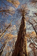 Bald Cypress Prints - Cypress Trunk Print by Susan Isakson