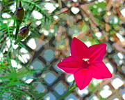 Padre Art Photos - Cypress Vine Blossom and Seed Pods by Padre Art
