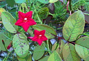 Padre Art Photos - Cypress Vine Flowers with Rose Leaves by Padre Art