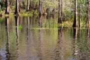Florida Swamp Photos - Cypresses Reflection by Carol Groenen