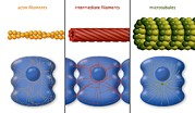 Contraction Posters - Cytoskeleton Components, Diagram Poster by Art For Science