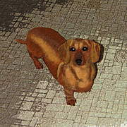 Dachshund Digital Art - Dachshund - Cinnamon by L J Oakes