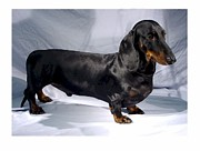 Dachshund Art Digital Art - Dachshund 34 by Larry Matthews