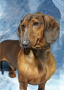 Dachshund Art Digital Art - Dachshund 521 by Larry Matthews