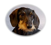 Dachshund Art Digital Art - Dachshund 561 by Larry Matthews